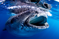 Whale Shark Reflection