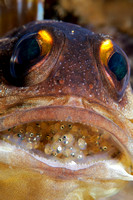 Jawfish with eggs by Debi Henshaw
