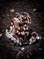 The Mimic Octopus (Thaumoctopus mimicus) by Dimpy Jacobs, Lembeh, Indonesia