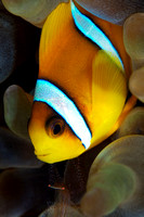 Clown Fish from the Red Sea by Debi Henshaw