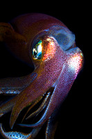 A Bigfin Reef Squid Portrait by Debi Henshaw
