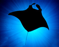 Simply spectacular Manta Ray silouette from Yap,  Image by Victor Zucker