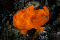 A beautiful little Painted Orange Frogfish made by Julia Sangi