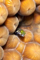 A curious secretary blenny - (Acanthemblemaria maria) in Grand Cayman by Pam Murph