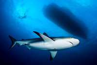 Caribbean Reef Shark,  Carcharhinus perezi , Bahamas, Image by Steve Williams