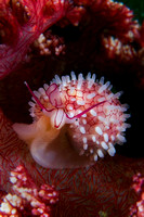 Wilson's Egg Cowrie from Lembeh by Debi Henshaw