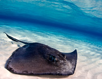 Southern stingray, Dasyatis americana. Grand Cayman, Image by Steve Williams