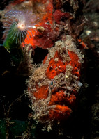 Scarlet Frogfish / Freckeld frogfish by Dimpy Jacobs