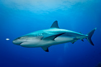 Caribbean Reef Shark, Carcharhinus perezi, Bahamas, Image by Steve Williams