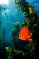 Michael Zeigler's beautiful image of the bright orange Garibaldi in the dive park at Casino Point, Catalina Island.