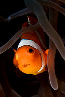 Western Clown Fish and parasite image by Debi Henshaw