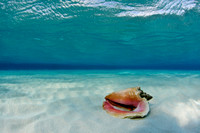 A single conch shell, Grand Cayman,   Image by Mike Powell