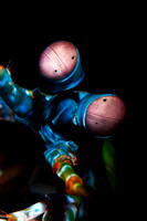 Mantis Close-up from Lembeh by Debi Henshaw