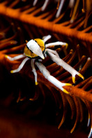Squat Lobster from Anilao by Debi Henshaw