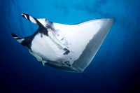 Giant Oceanic Manta of Isla Benidicto